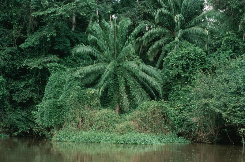 the characteristics of the tropical rain forests in the congo basin Hkdse geography/m6/tropical rainforests has similar climatic characteristics and thus gives rise to tropical rainforests are found at the congo basin.