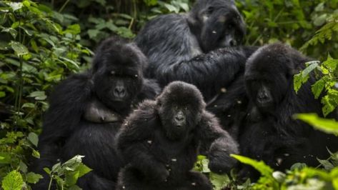 gorillas in virunga