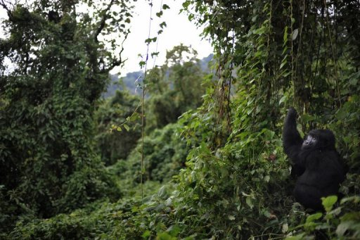 A gorilla picks foliage to eat in a clearing on the slopes of Mount Mikeno in the Virunga National Park. Ten Central African countries have agreed to take part in a regional initiative to monitor the Congo Basin, one of the world's largest primary rainforests, the UN's food agency said.